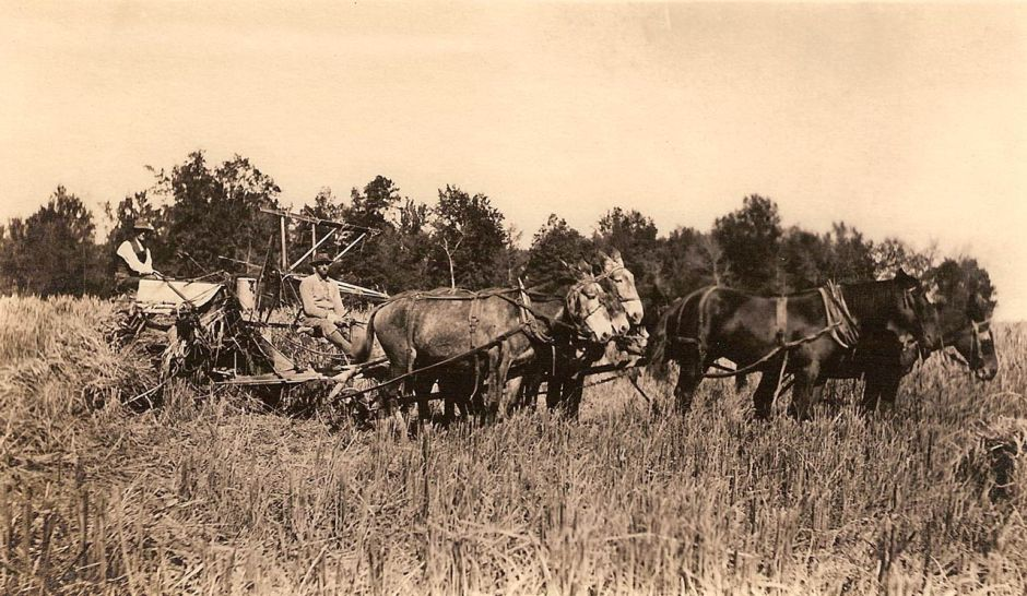 harvesting rice about 1912 Arkansas